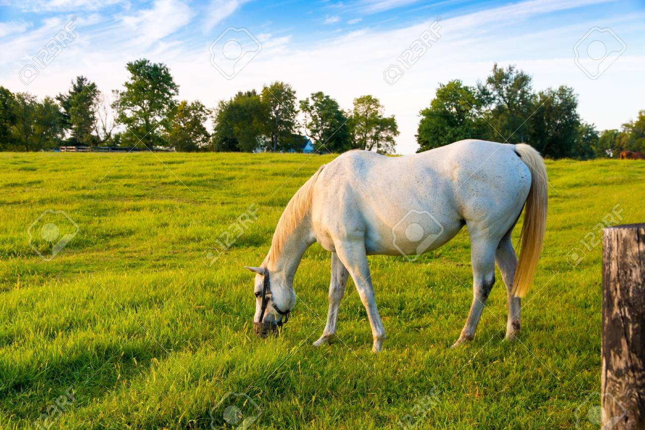 White Horse At Green Pastures Of Horse Farm Country Summer Landscape Stock Photo Picture And Royalty Free Image Image 90093636