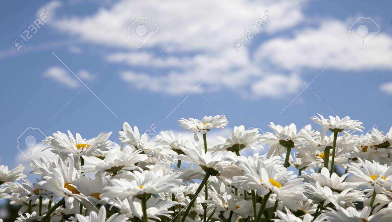 daisies on a background of the sky with clouds Stock Photo - 14237286