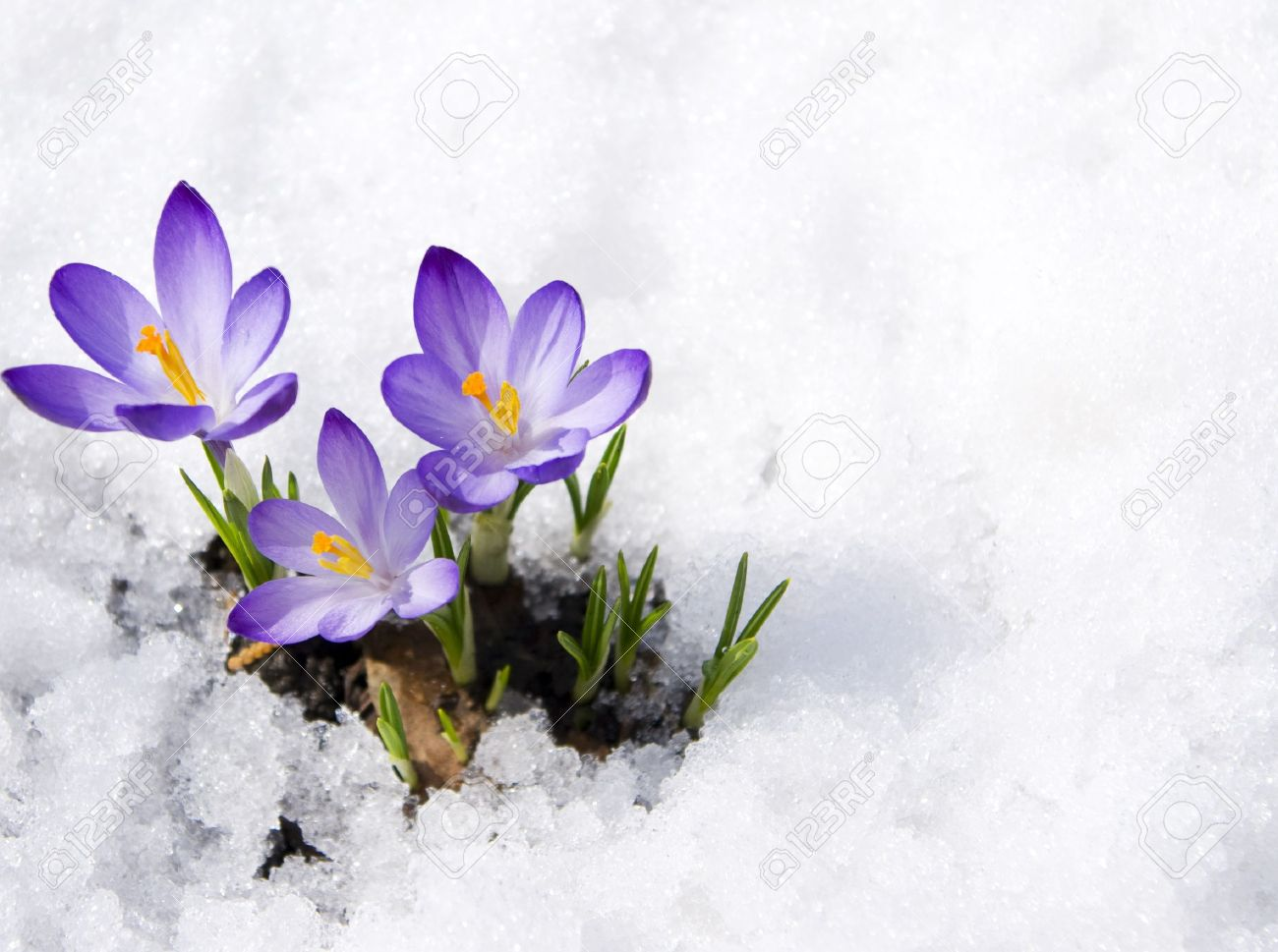 Crocuses In Snow Stock Photo, Picture And Royalty Free Image. Image 15957458.