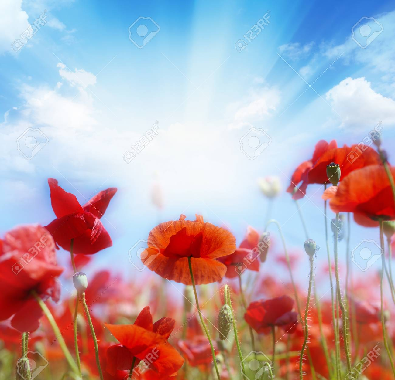 Red poppies on green field, sky and  clouds Stock Photo - 18074608