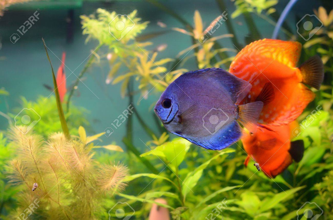 Blue and orange discus in the aquarium Stock Photo - 13642412