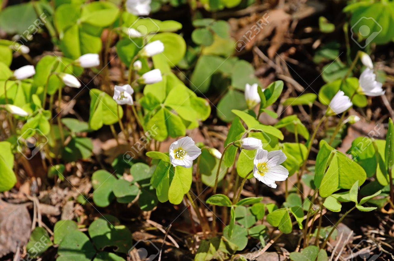 Oxalis flowers in the forest Stock Photo - 13572508