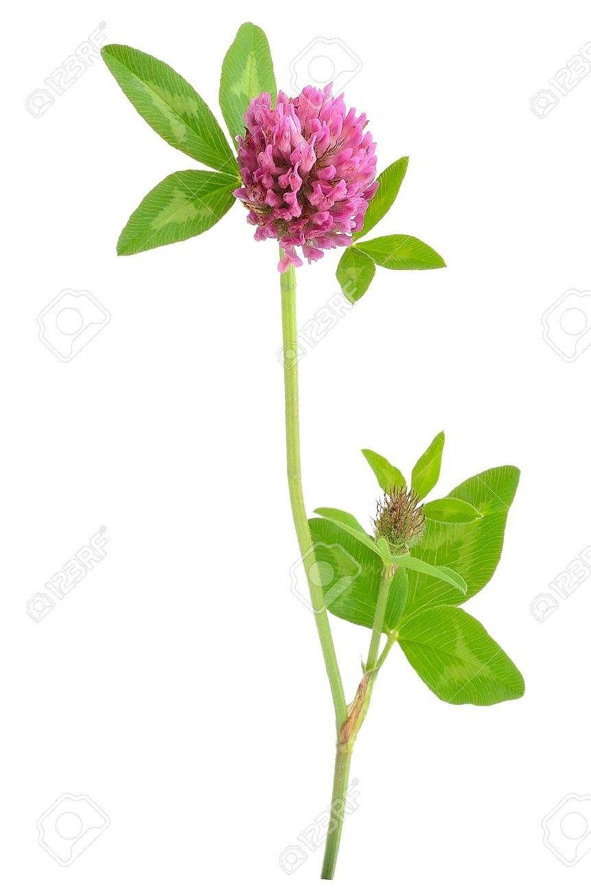 Pink Clover Flower Isolated On White Background Stock Photo Picture