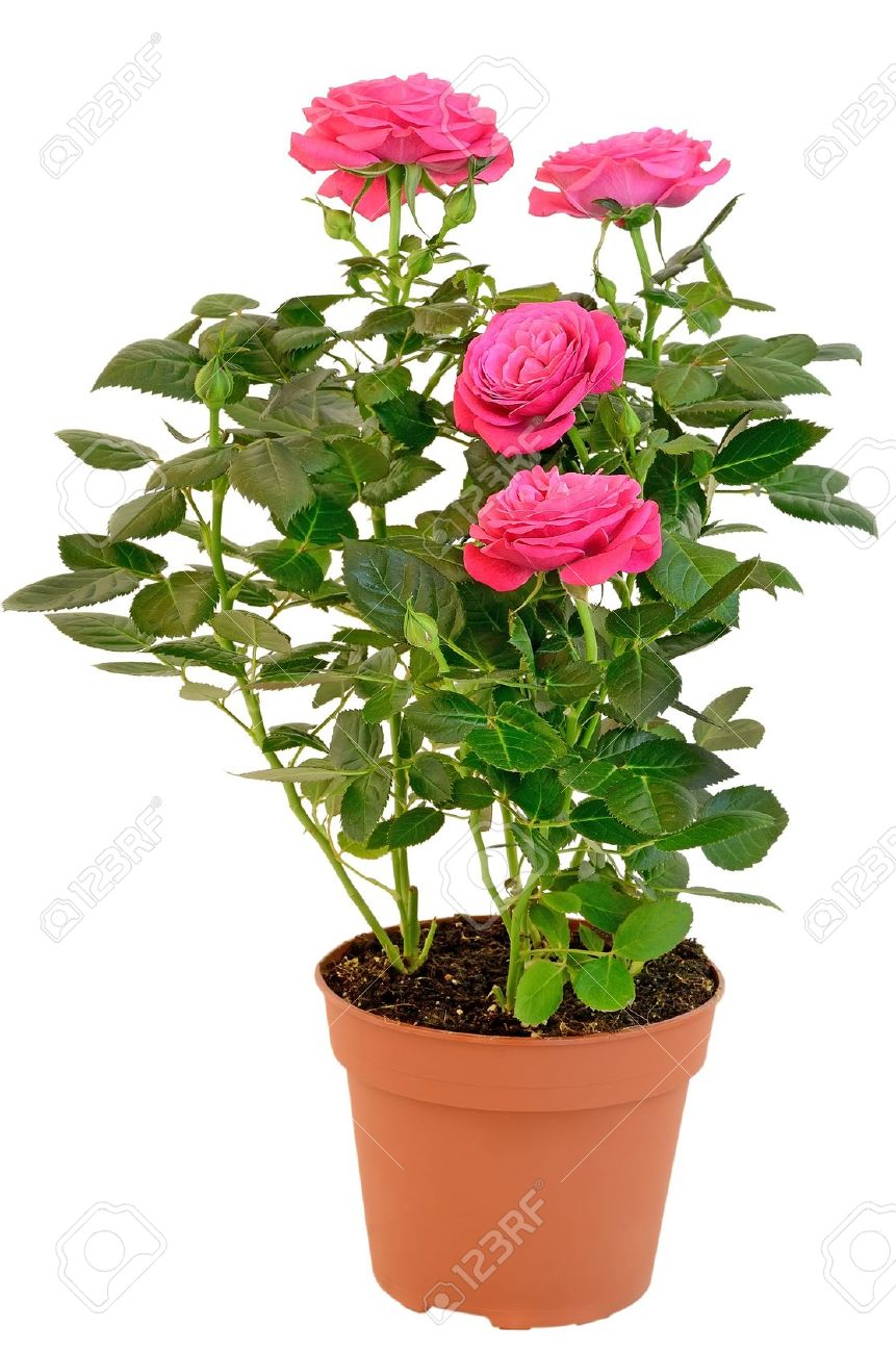 276 & Pink Rose in the flower pot isolated on white background