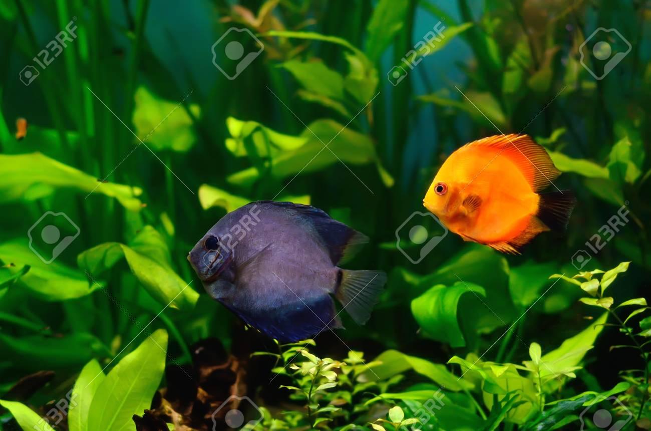 Blue and red discus fish in the aquarium Stock Photo - 18561313