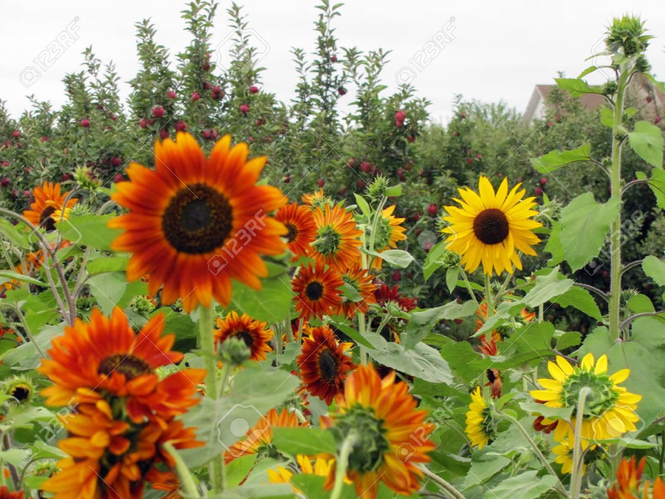 Sunflower patch - 34435259
