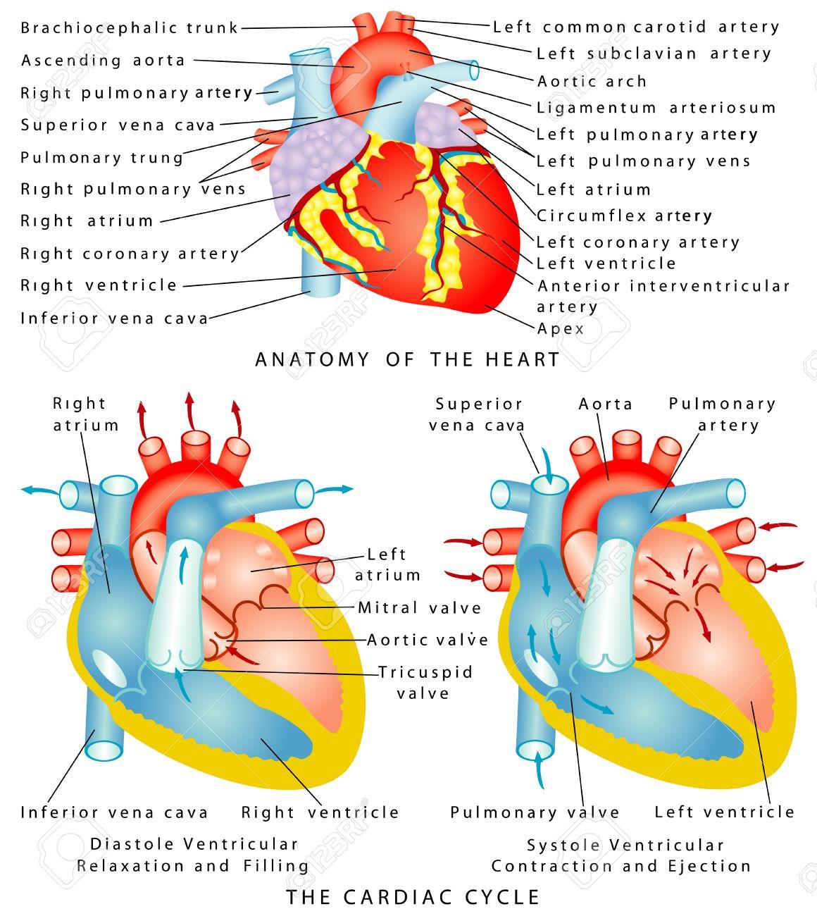 Anatomía Del Corazón De La Relajación Del Corazón El Ciclo Cardiaco ...