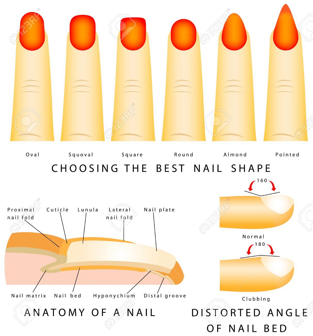 Forma De Uñas Uñas Diferentes Formas Anatomía De Un ángulo De Uñas ...