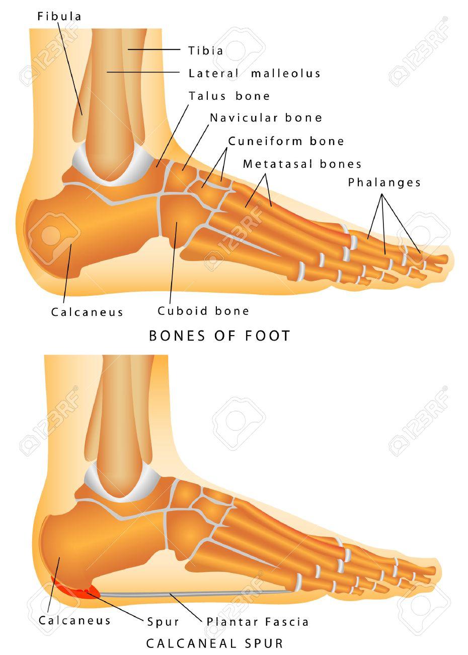 Anatomía Humana - Huesos Del Talón De Espuela Pie Y Tobillo - Una ...