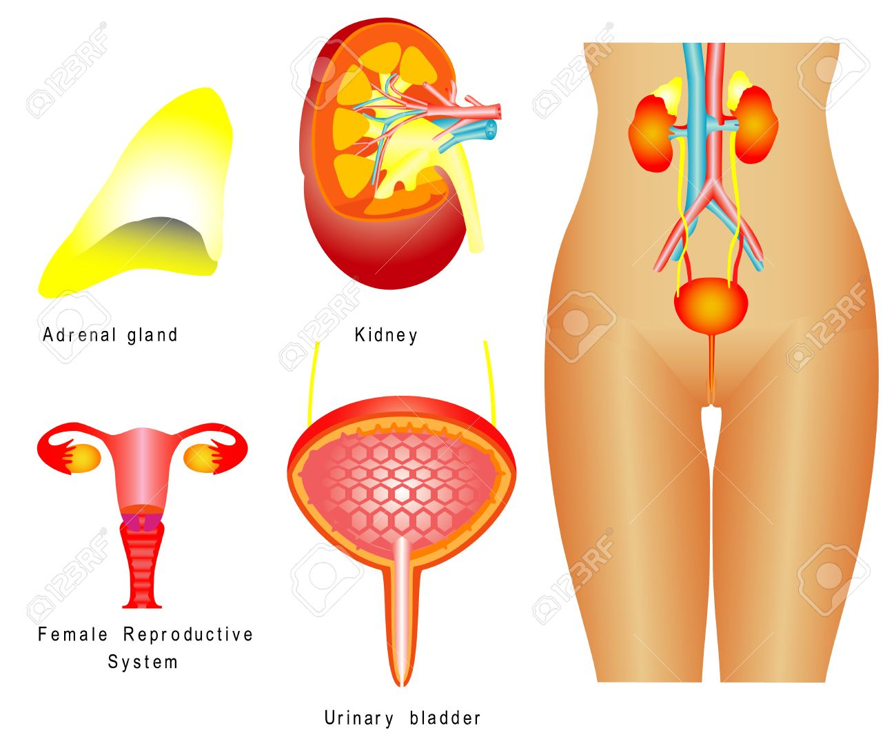 Urinary System Female Urinary System Reproductive System On