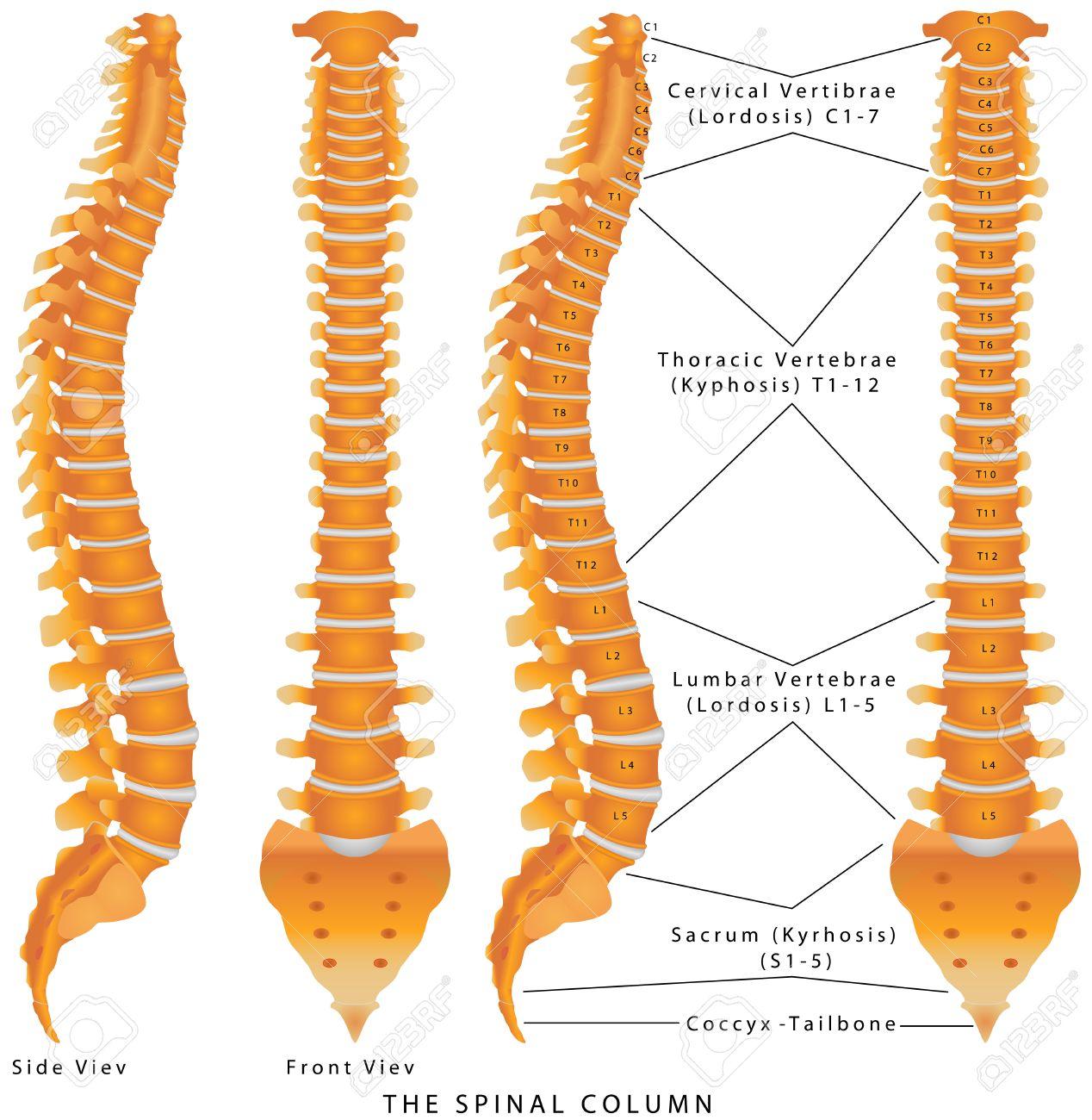Die Wirbelsäule. Die Wirbelsäule Diagramm. Menschlichen Wirbelsäule ...