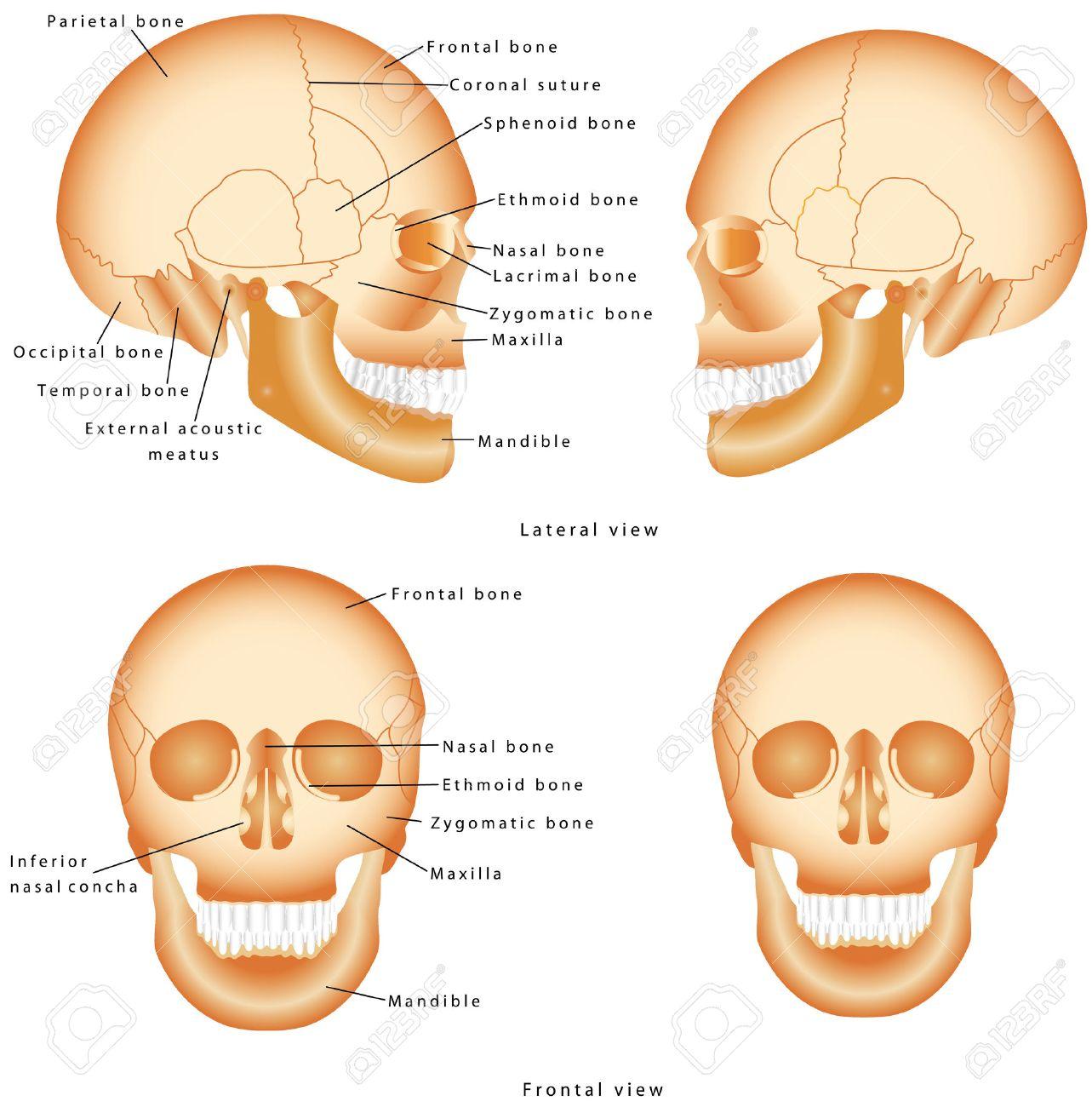 Estructura De Cráneo Humano. Etiquetado Anatomía Cráneo. Modelo ...