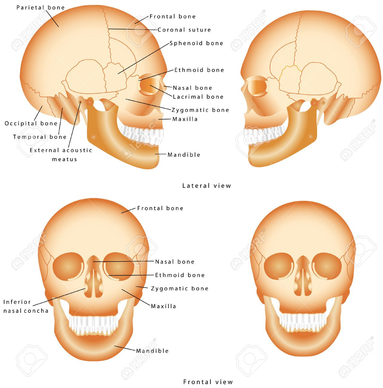 Human Skull Structure Skull Anatomy Labeling Medical Model