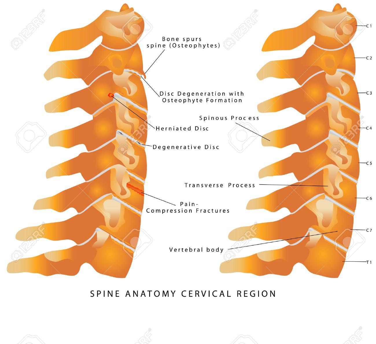 Halswirbelsäule. Anatomie Der Wirbelsäule Halsbereich ...