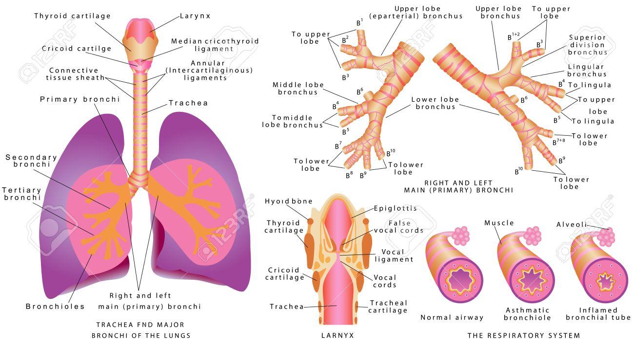 Atmungsorgane Menschenluftrhre Und Bronchien Kehlkopf Trachea