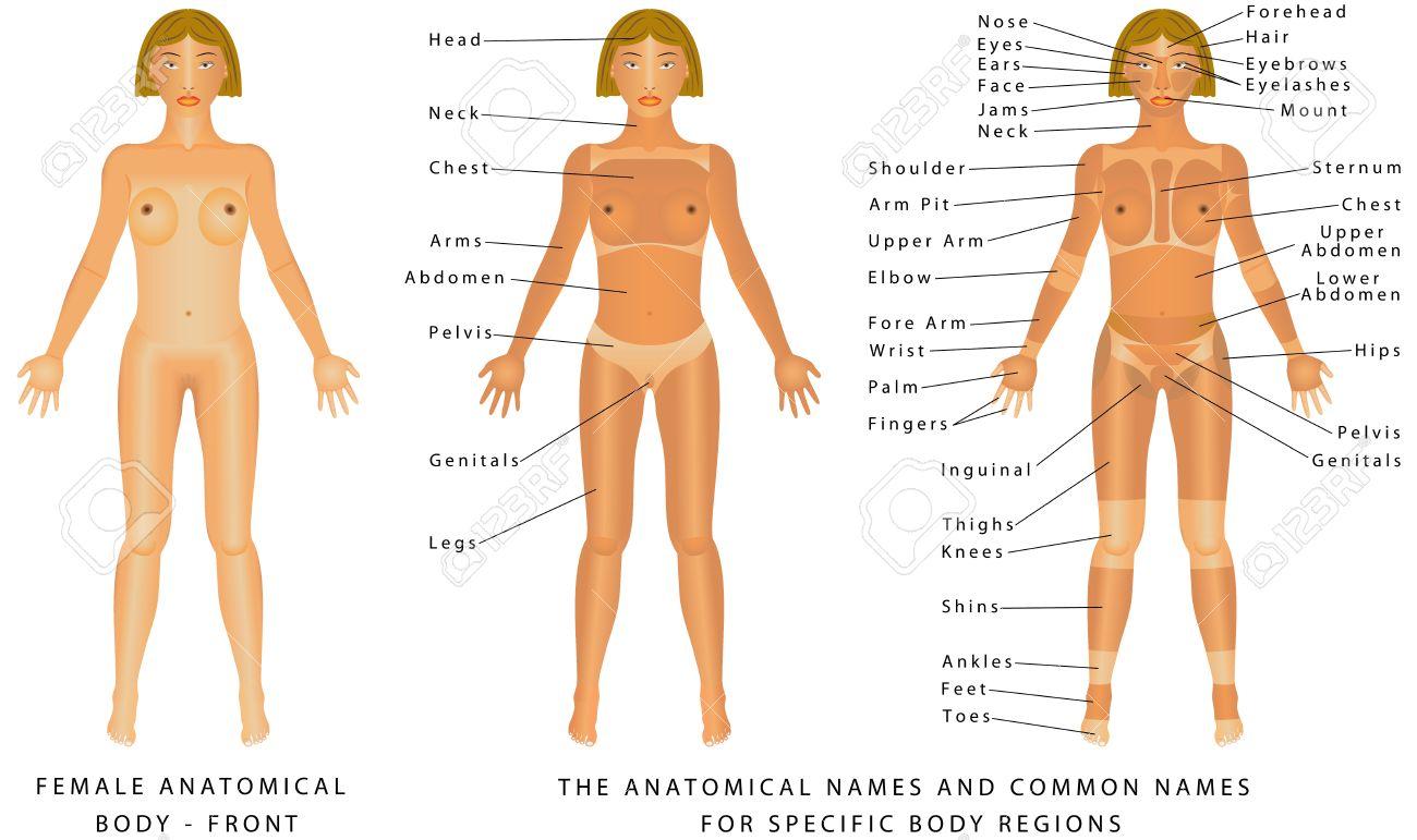 Anatomie Corps Humain Femme corps de la femme - front, l'anatomie de surface, les formes du