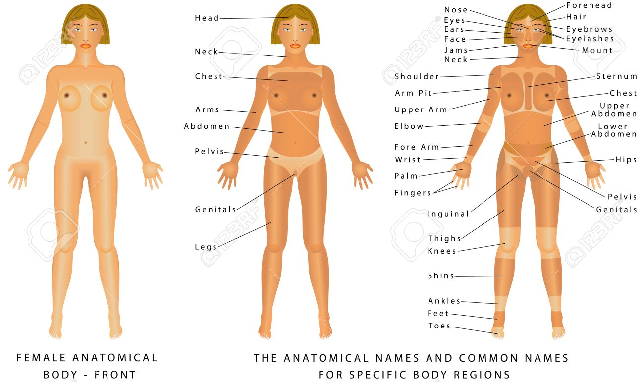 Female Body Front Surface Anatomy Human Body Shapes Anterior