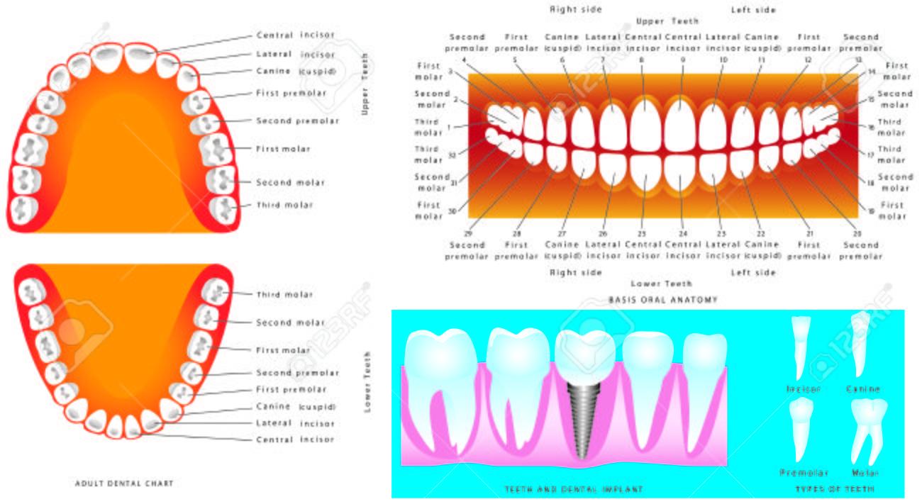Basic tooth anatomy | Term paper Writing Service mbtermpaperlgeg ...