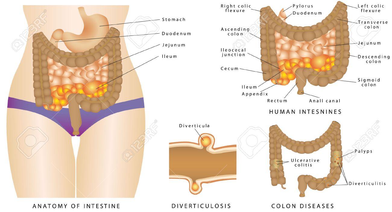 Anatomía Del Intestino. Anatomía De Los Intestinos Humanos. Grande Y ...