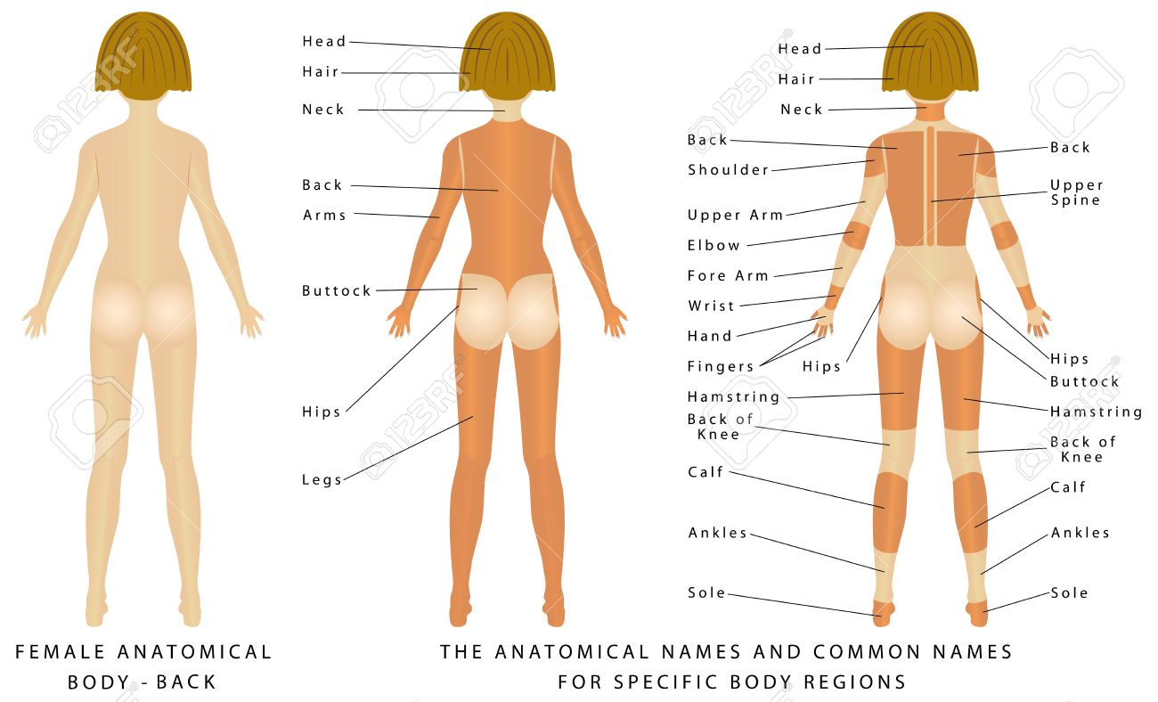 Female Body - Back, Surface Anatomy, Human Body Shapes, Anterior ...