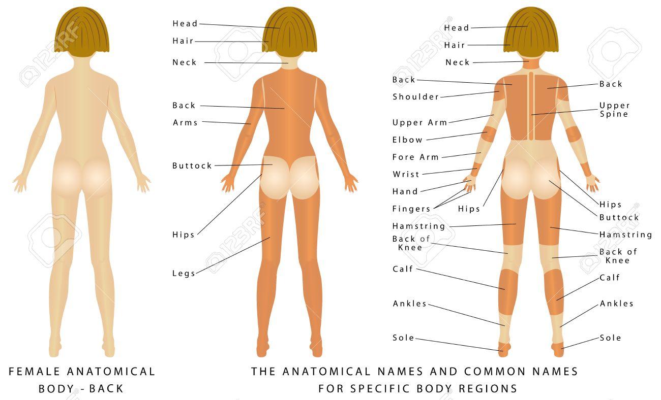 Weiblicher Körper - Back, Oberflächenanatomie, Menschliche ...