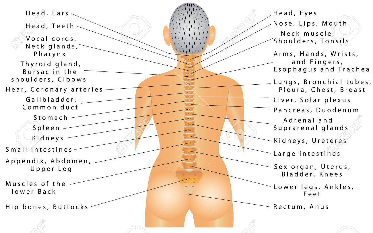 Charmant Nervensystem Organe Und Funktionen Bilder - Menschliche ...