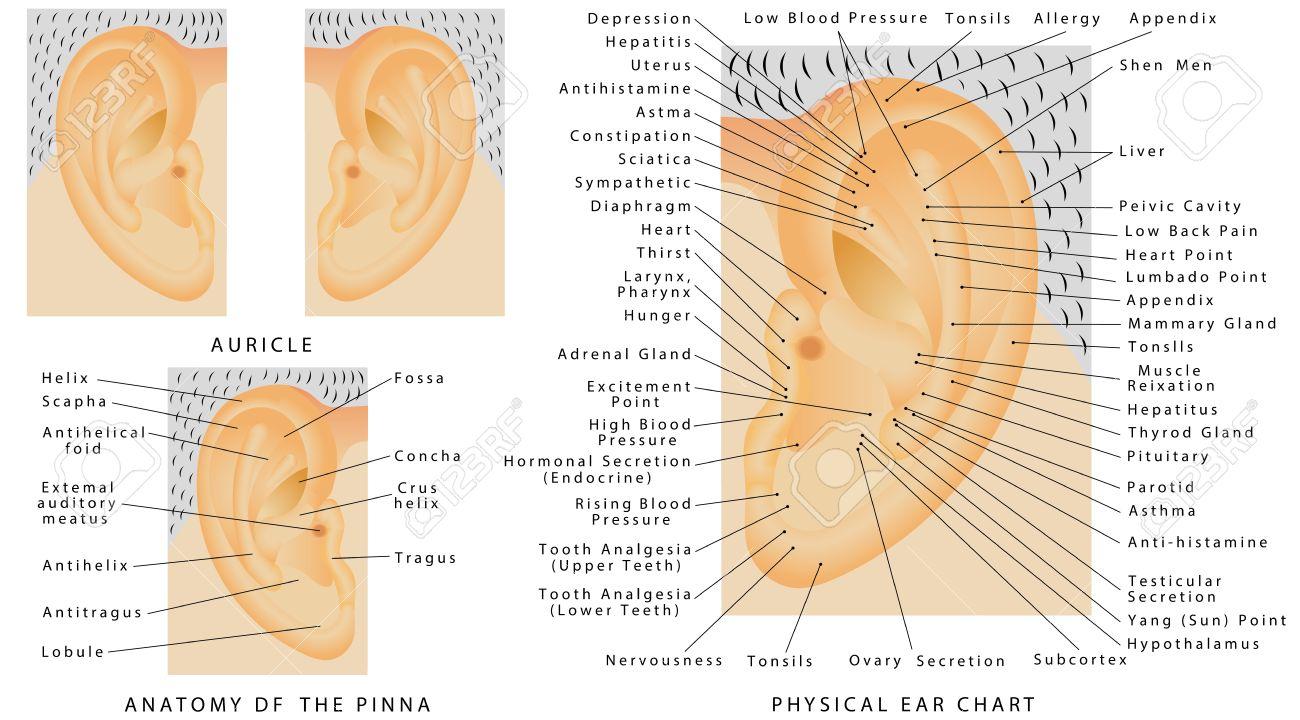 Aurícula. Oído Humano - Pina. Anatomía De La Piña. Gráfico Del Oído ...
