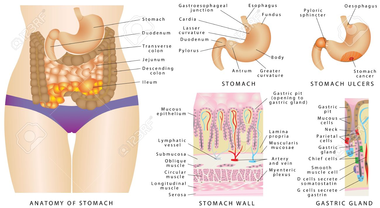 Stomach Anatomy. Stomach Anatomy Of The Human Internal Digestive ...