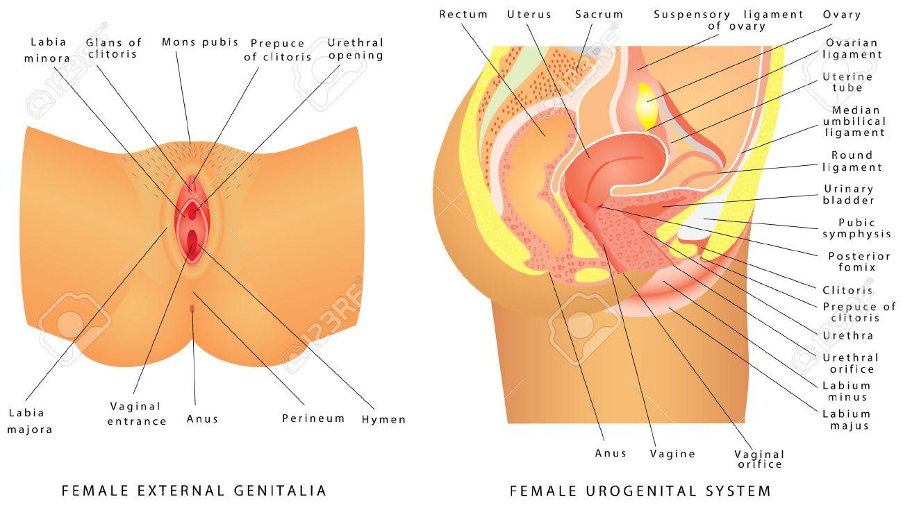 女性泌尿生殖器。女性の生殖器の...