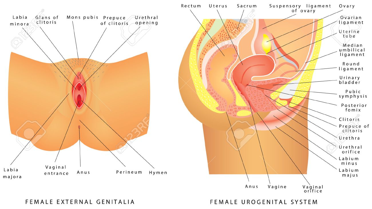 Système Urogénital Féminin. Anatomie Du Système Reproducteur Féminin ...