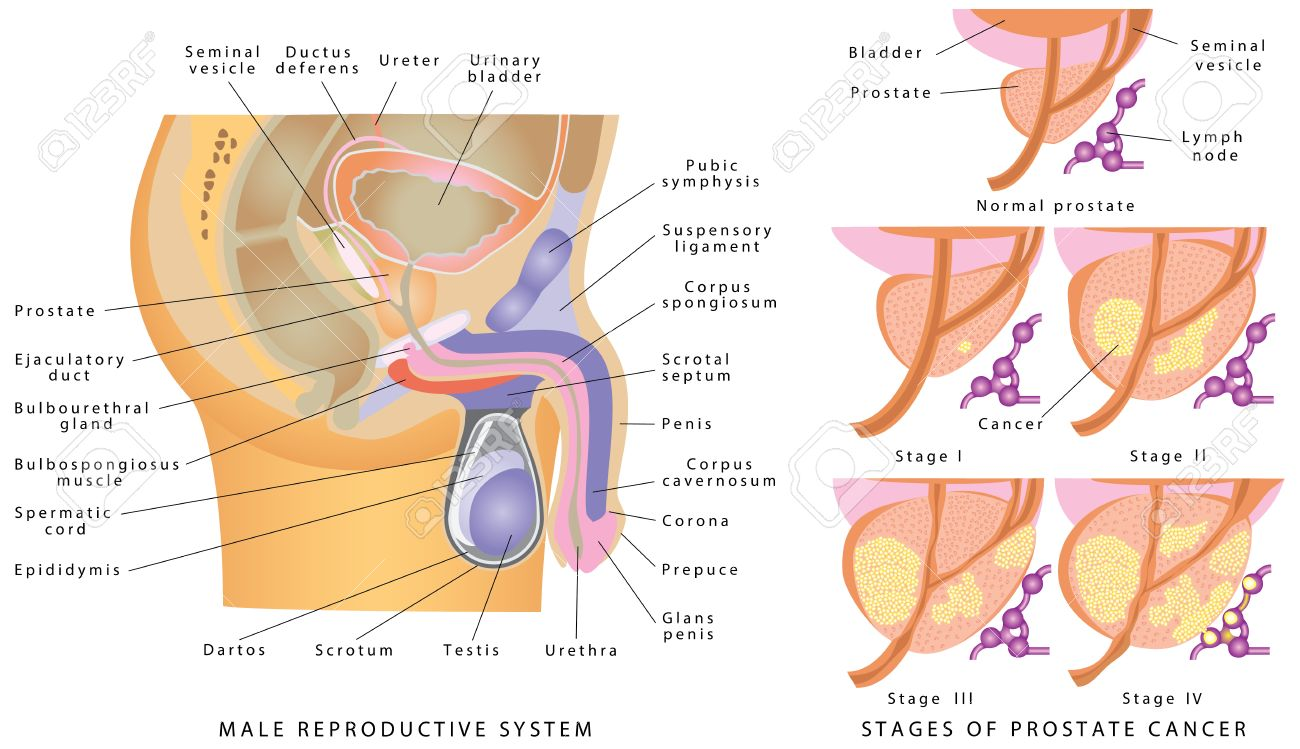 Male Genitourinary System. Anatomy Of The Male Reproductive System ...