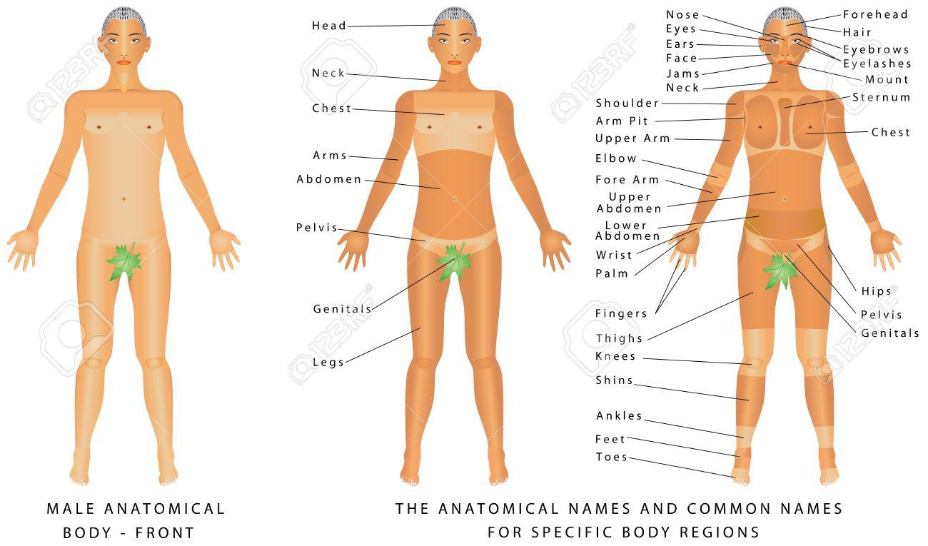 Männliche Körper - Front, Oberflächenanatomie, Menschliche ...