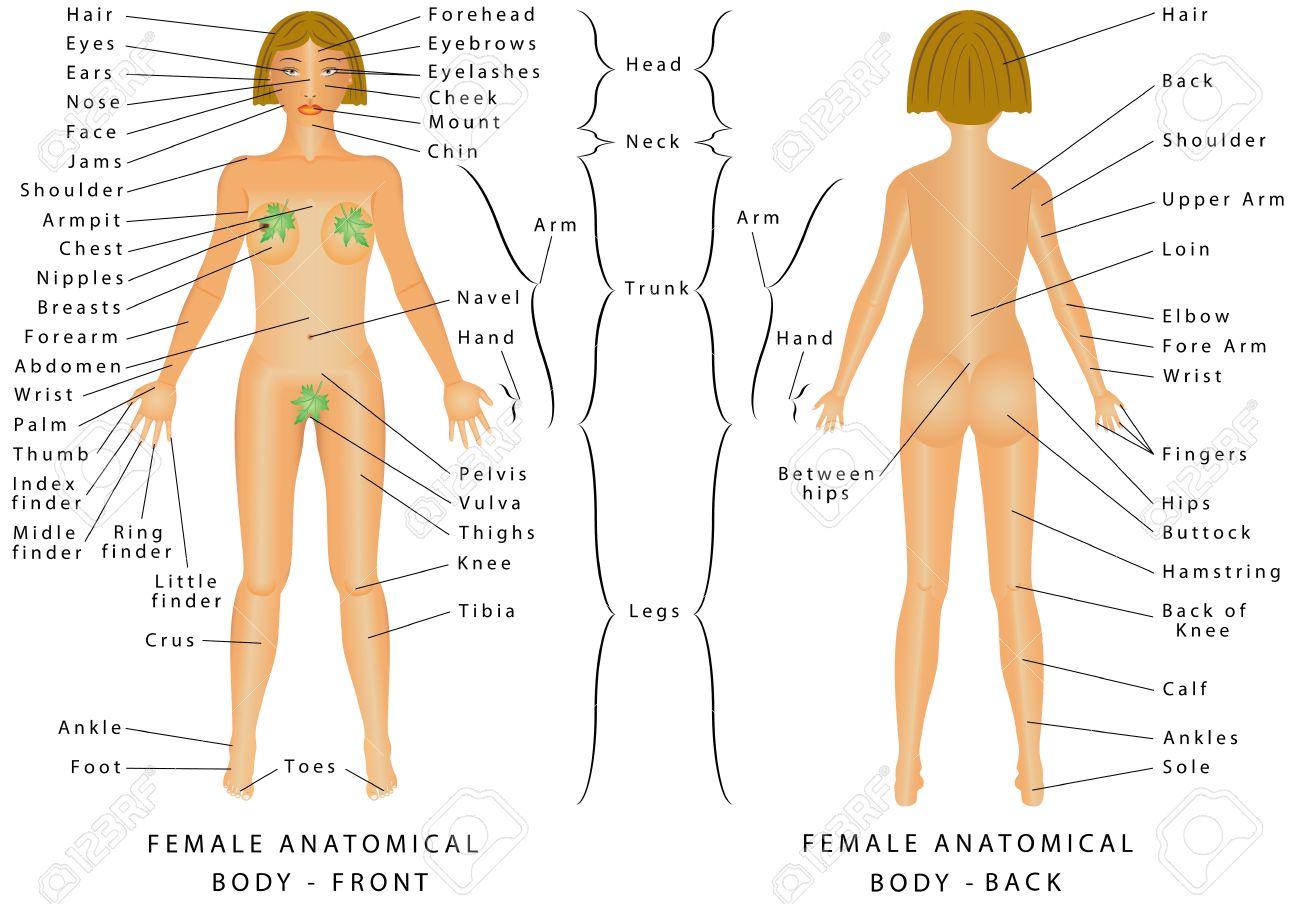 Anatomie Corps Humain Femme régions de corps féminin. corps féminin - avant et arrière. femme