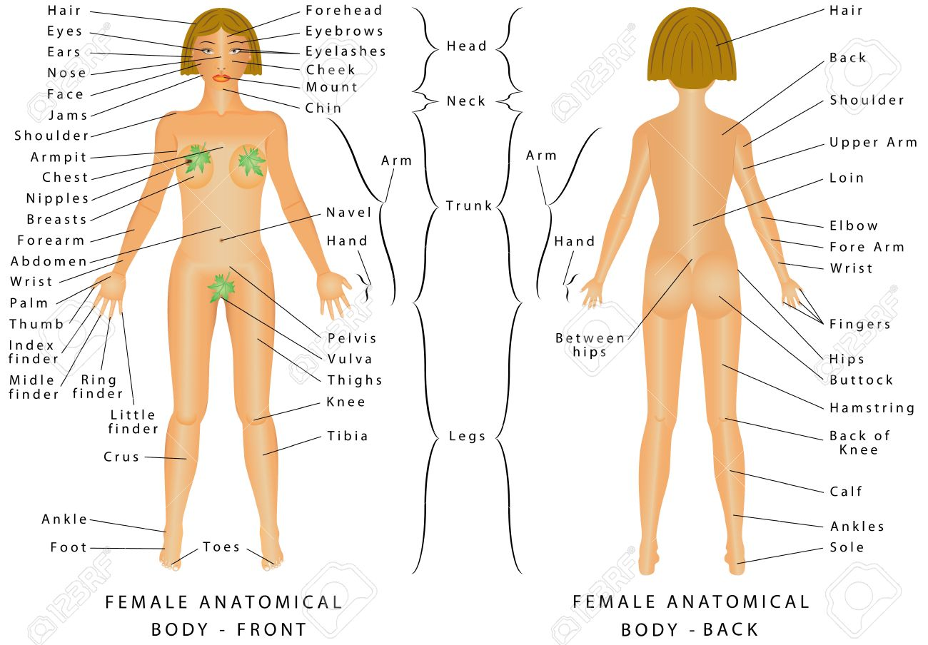 Regions Of Female Body Female Body Front And Back Female