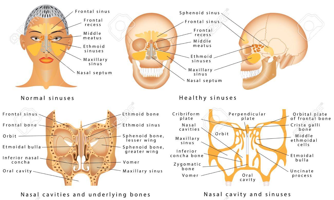 Senos De La Nariz. Anatomía Humana - Diagrama Sinusal. Anatomía De ...