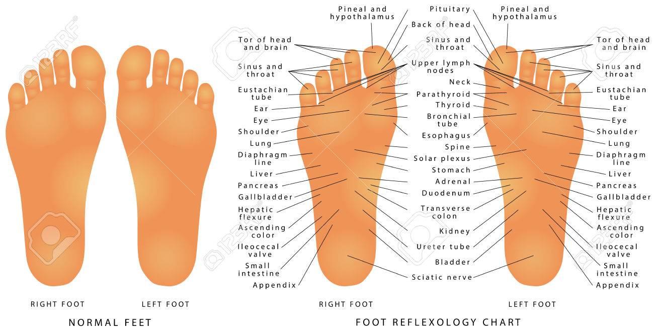 Fußreflexzonen-Diagramm. Reflexzonen Der Füße - Sohlen - Genaue ...