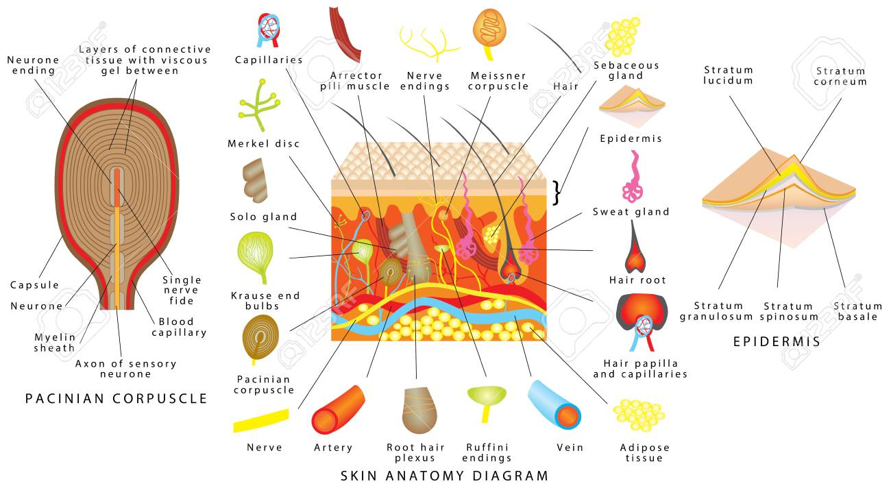 Skin Anatomy Diagram. Sensory Receptors In Skin. Human Skin Detailed ...