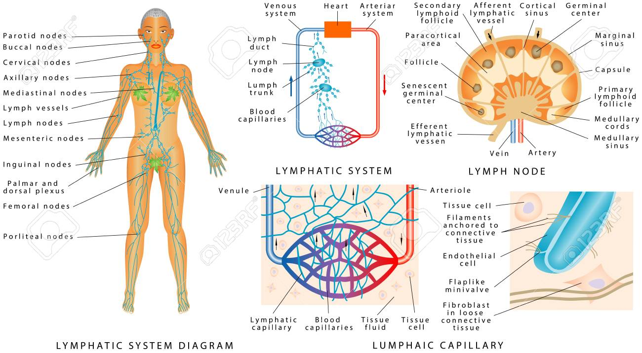 Lymphatic System - Lymphatic Diagram In Human. Structure Of A ...