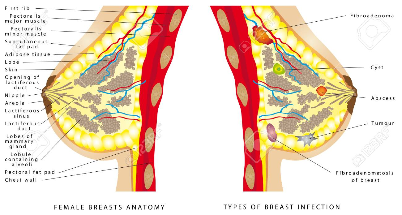 breast anatomy  female breast anatomic cross section for basic medical  education, for clinics &