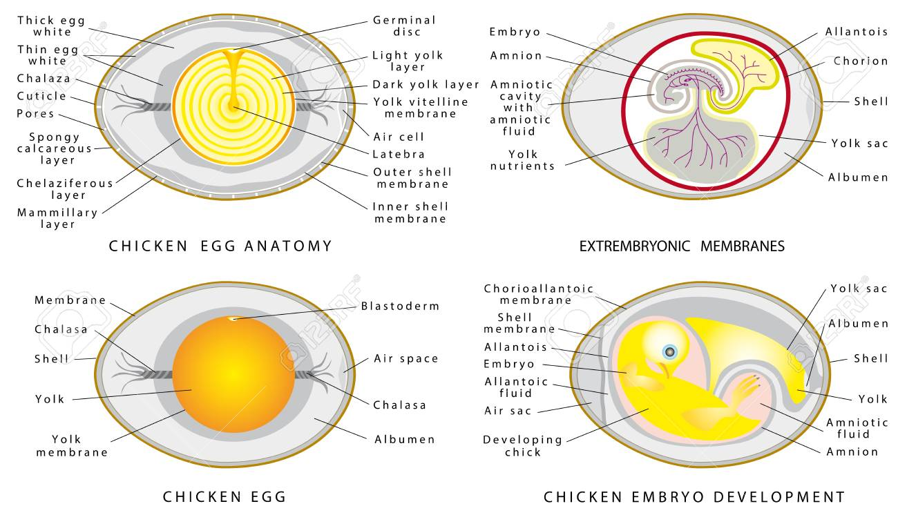 Chicken Egg Structure On A White Background Cross Section Of