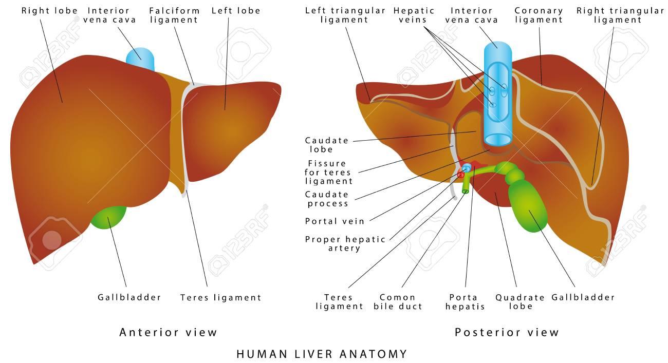 Liver Anatomy Gallbladder On A White Background The Gallbladder