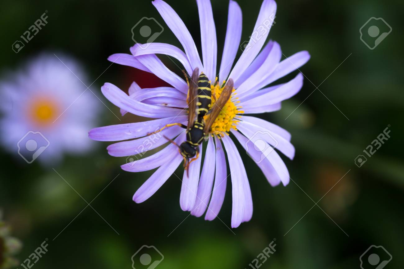 Wasp on purple flower with yellow center symphyotrichum novi belgii stock photo wasp on purple flower with yellow center symphyotrichum novi belgii new york aster mightylinksfo