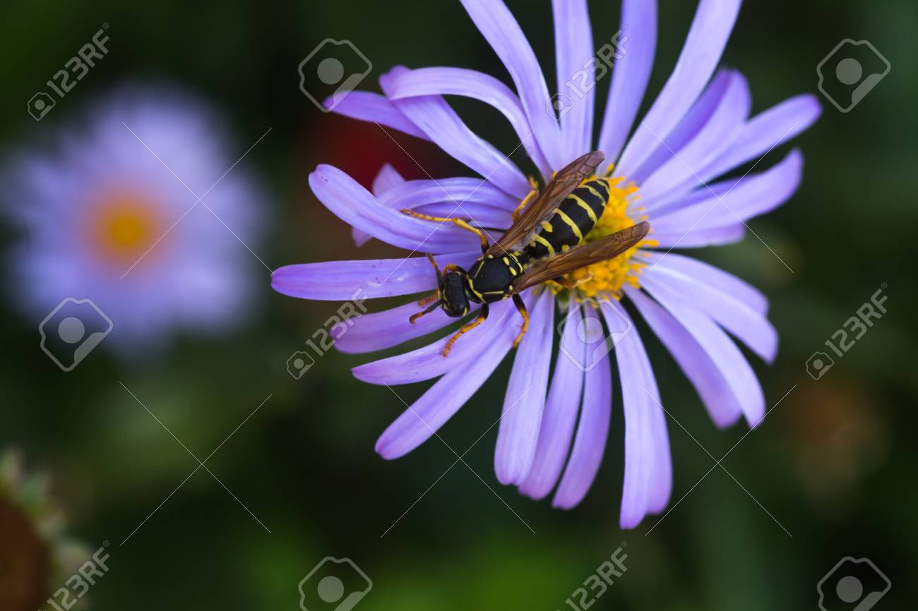 Wasp on purple flower with yellow center symphyotrichum novi belgii stock photo wasp on purple flower with yellow center symphyotrichum novi belgii new york aster mightylinksfo