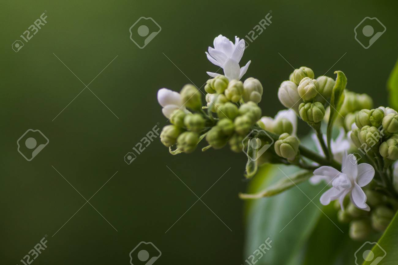 Lush White Lilac Flower Beautiful Spring Background Buds And