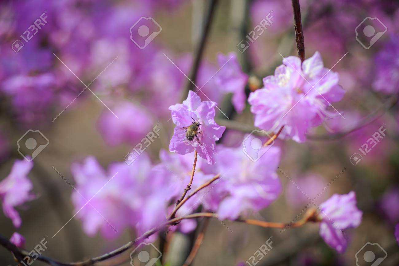 A Bush Of Flowering Azaleas Against A Background Of Trees In Stock