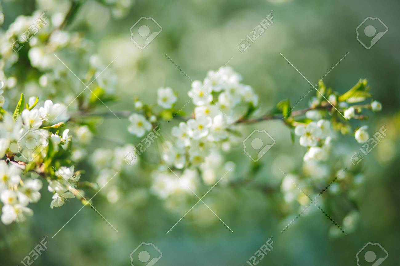 White flowers cherry tree white flowers cherry tree flowers stock photo white flowers cherry tree white flowers cherry tree flowers cherry tree blossomed honey and medicinal plants ukraine mightylinksfo