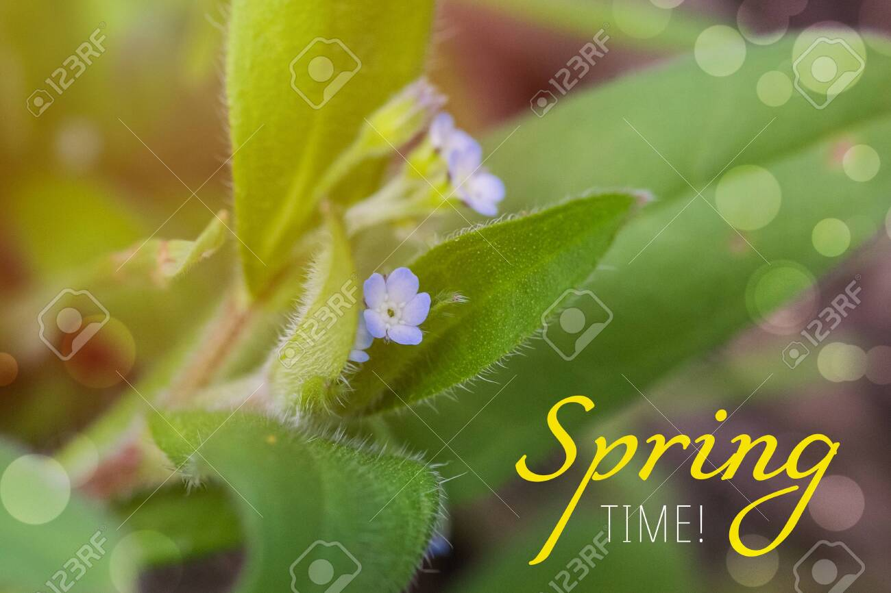 Text SPRING TIME. Myosotis sparsiflora, forget-me-nots or Scorpion grasses small blue flowers with 5 petals and yellow serts in the background of green fluffy leaves. - 141378943