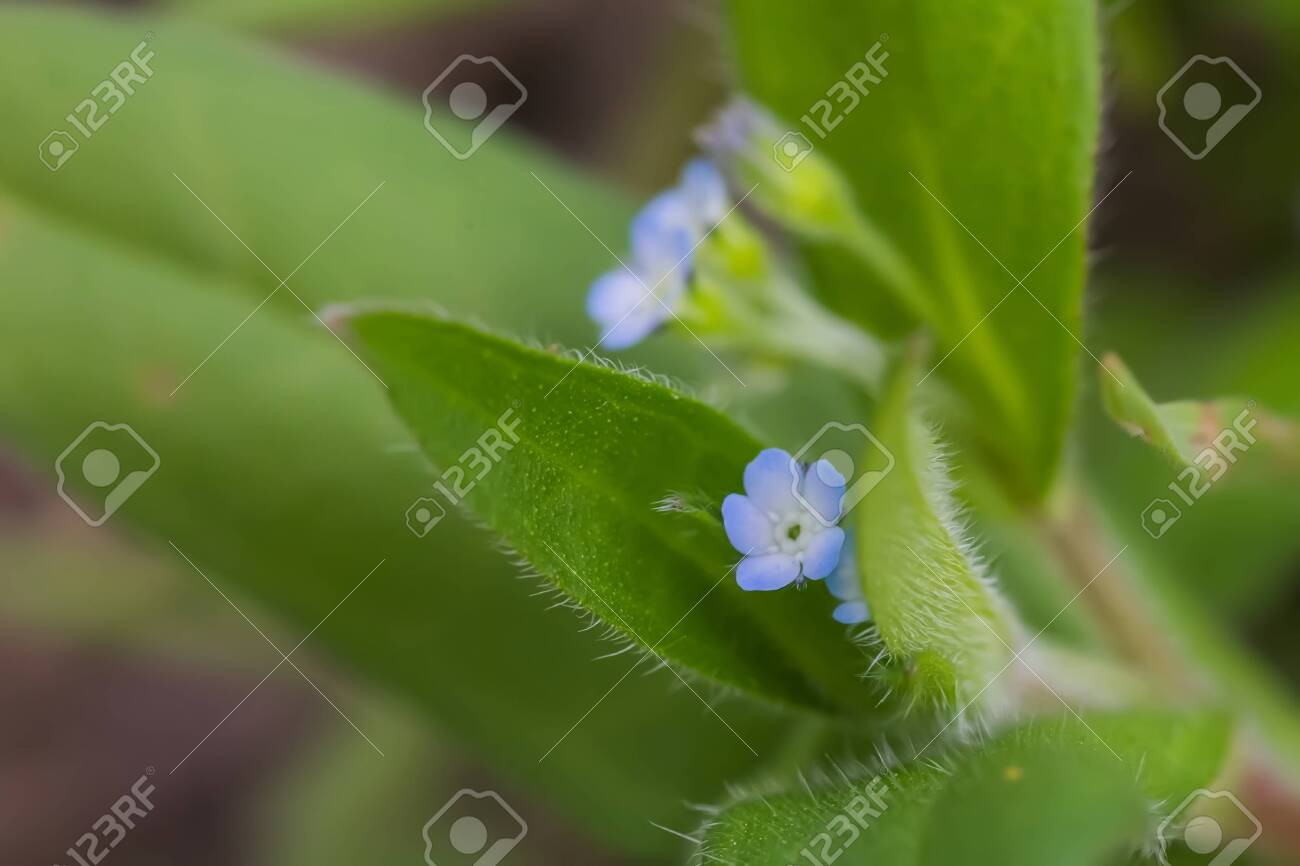 Myosotis sparsiflora, forget-me-nots or Scorpion grasses small blue flowers with 5 petals and yellow serts in background of green fluffy leaves. - 141378946