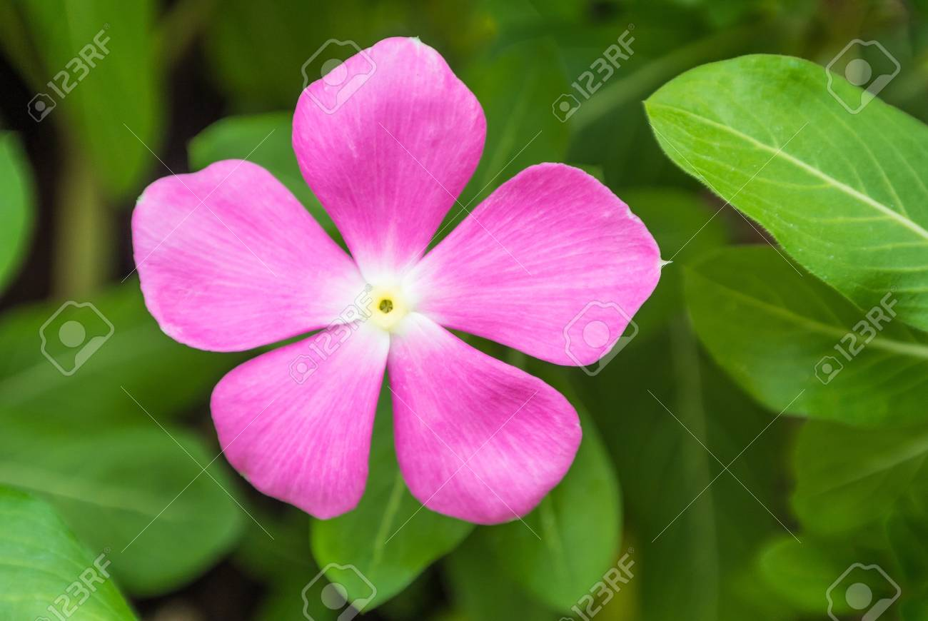 One pink flower on green background stock photo picture and royalty one pink flower on green background stock photo 13251793 mightylinksfo