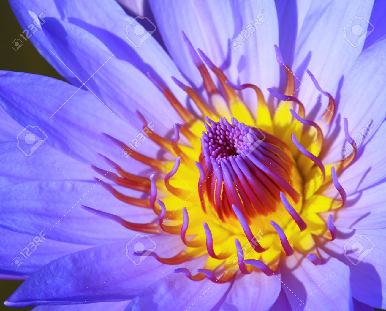 Close Up Blue Lotus Flower Stock Photo Picture And Royalty Free
